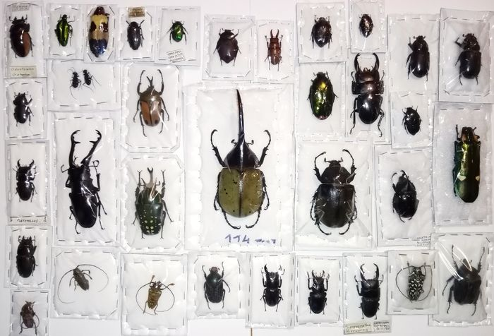 Collection of all-world Hard-cased Beetles including Rhinoceros and Stag Beetles - individually packaged - various named non-CITES species - 0×0×0 cm - 33