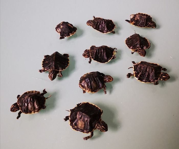 Collection of small Terrapins - - various non-CITES Testudines species - 0×0×0 cm - 10