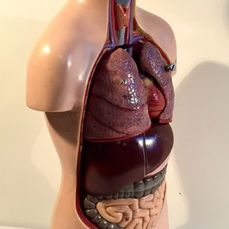 Somso - Old anatomical torso of a boy with cross section of head - Sometimesoplast