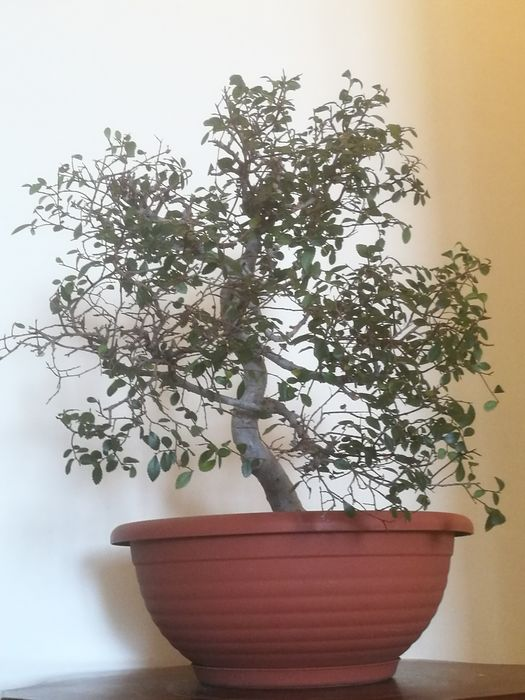 Bonsai olmo - 42×40 cm - Japon