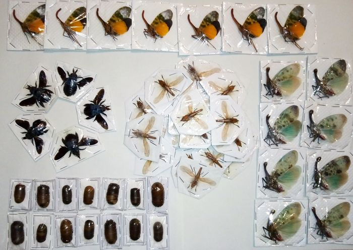 Thailand Insect Collection - dry-preserved and individually packaged - with Lantern Bugs - - includes Pyrops, Xylocopa and others - 0×0×0 cm - 61