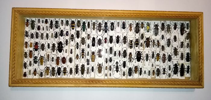 All-world Longhorn Beetle display in large oblong glazed display case - Conservato a secco - Cerambycidae sp. - 4×17×42 cm