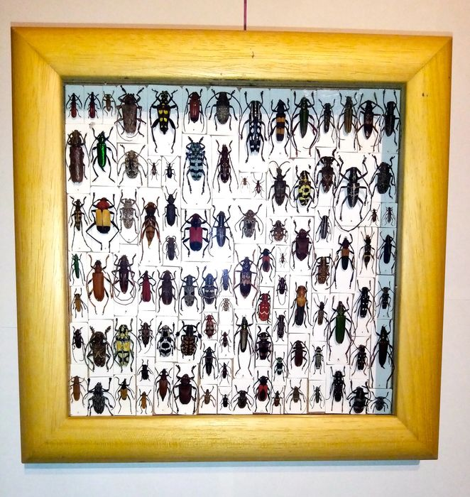 Large display of all-world small-sized Longhorn Beetles in plexi-glass frame Conservato a secco - Cerambycidae sp. - 4×25×25 cm