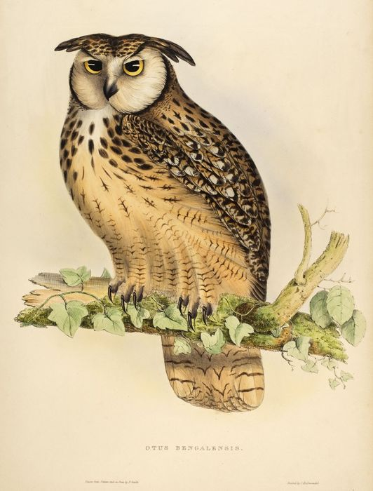 "John Gould - Otus Bengalensis from ""A Century of Birds from the Himalaya Mountains"" - 1831"