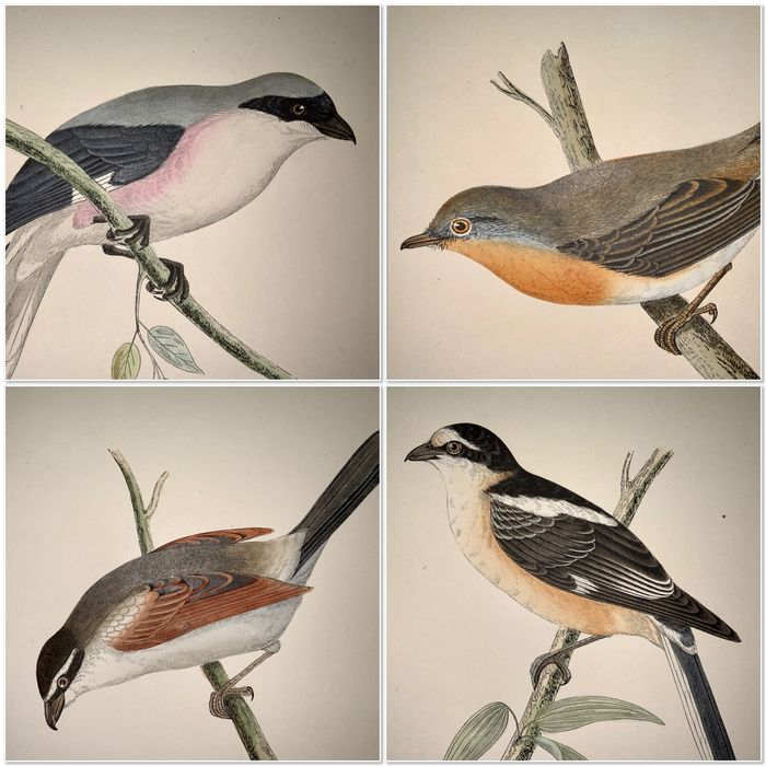 Lot of 23 fine hand coloured woodblock plates for Charles Robert Bree (1811-86) - Birds of Europe: Magpie Flycatchers Shrikes Thrush Starlings Jays