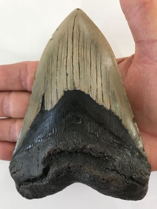 ENORME Megalodon Shark - Tand 14,2 cm (5,59 inch) - Carcharocles megalodon