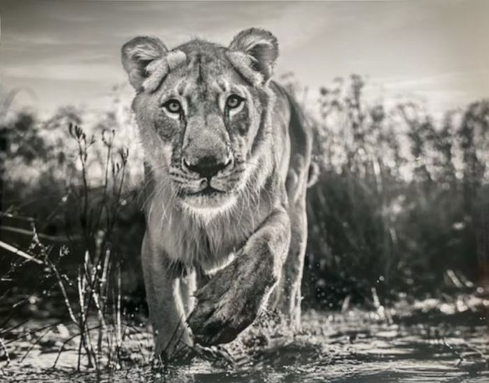 David Yarrow (1966) - Our Pride