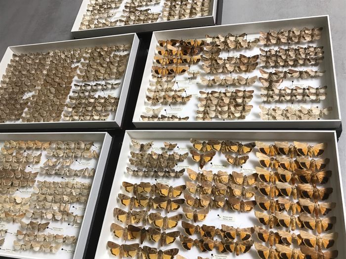 Large collection of Moths of high scientific value stored in 5 entomological boxes - Lepidoptera Noctuidae - Hadeninae - Noctuinae - 6×26×39 cm