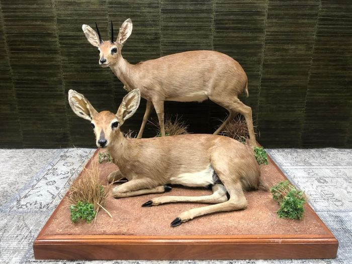 Adult Steinboks - two very fine full-body examples on artificial ground - - Raphicerus campestris - 70×83×83 cm