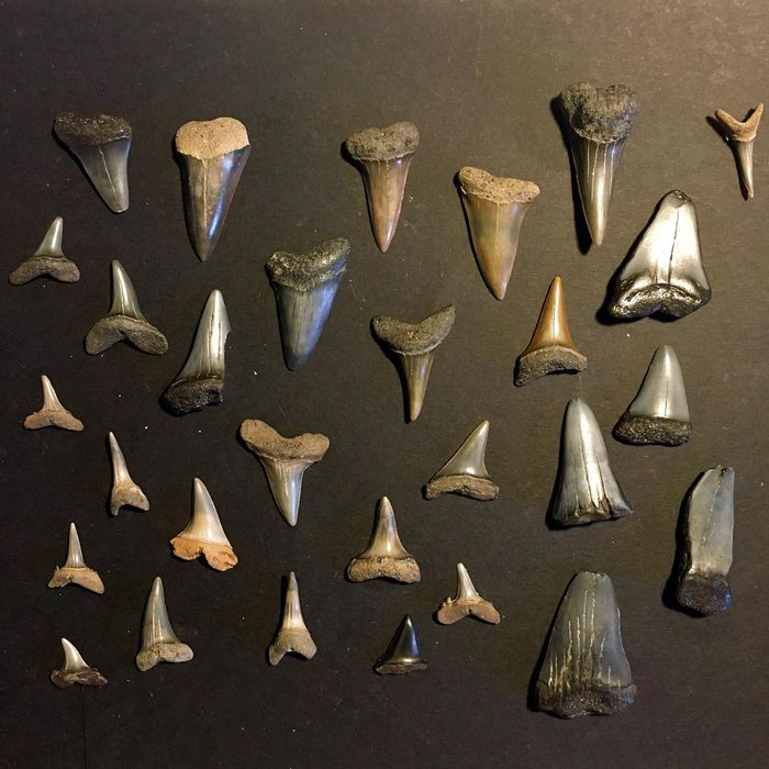 Mixed collection of Fossil Shark Teeth - - - various species