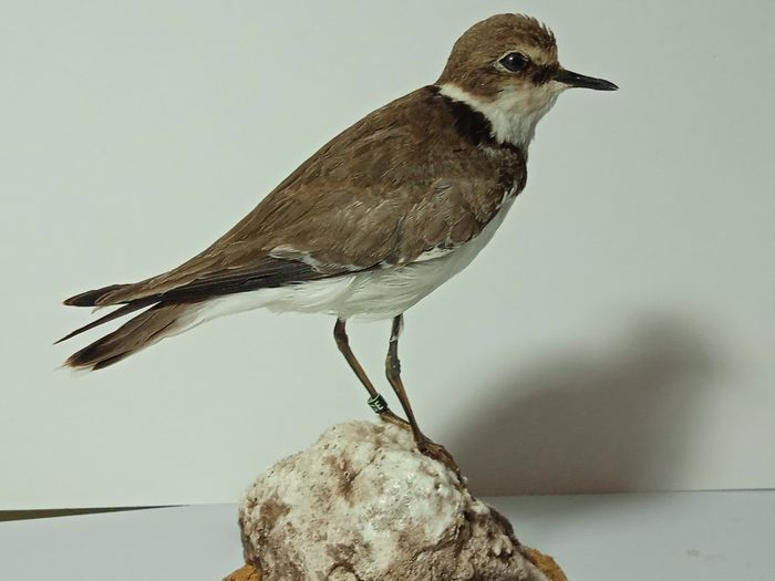 Ringed Plover with closed foot-ring - - Charadrius hiaticula - 185×0×145 mm