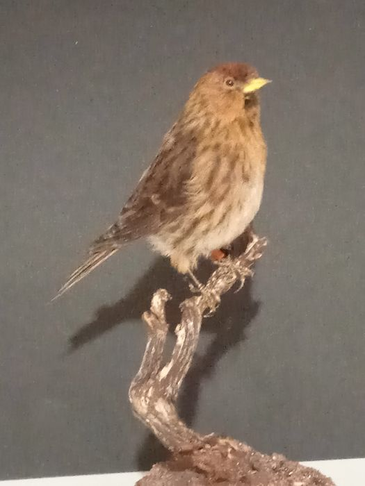 Redpoll with closed foot-ring - - Acanthis flammea - 175×0×115 mm