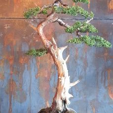 Wacholderbonsai (Juniperus) - 70×36 cm - Japan