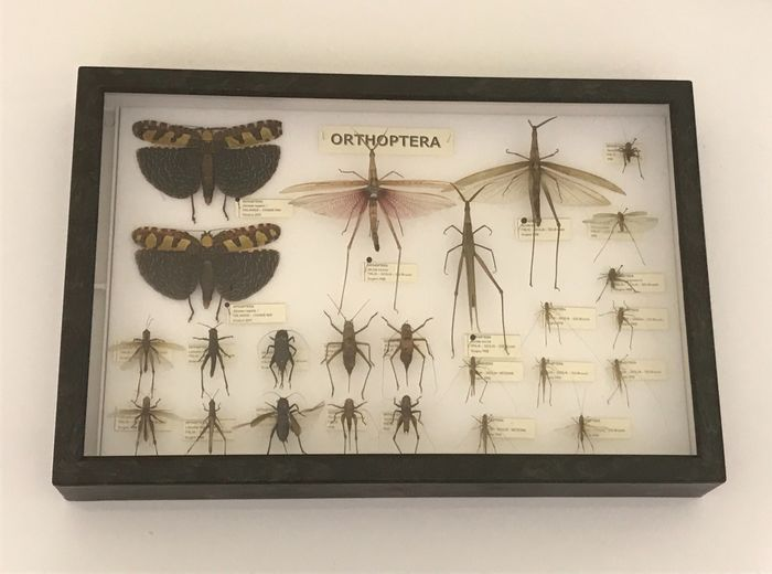 Tropical and Mediterranean Orthoptera Collection, dry-stored and in glazed display case - 1980s - Insecta - Orthoptera - 6×39×26 cm