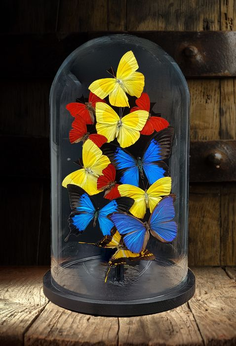 """Mixed Butterflies under large Glass Dome - """"Straight from the Heart"""" - Various species - 40×23×23 cm"""