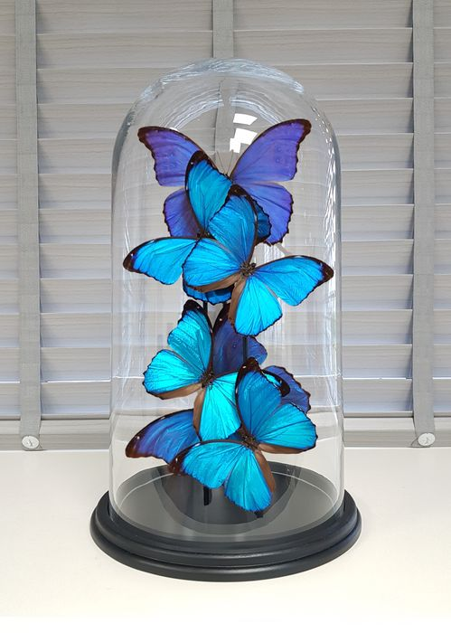 Finest Mixed Butterflies under large glass dome - Morpho menelaus and M. didius - 40×23×23 cm
