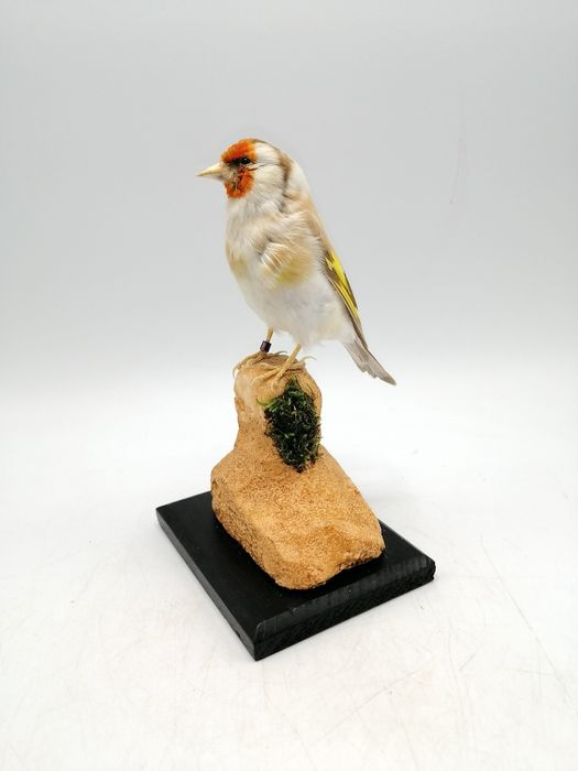 Common Goldfinch - pale color-morph, with closed foot-ring - Carduelis carduelis - 18×10×17 cm
