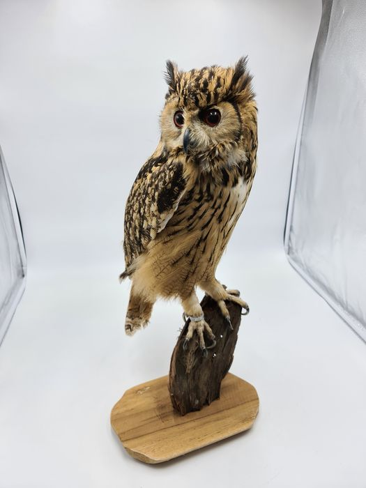 Bengal Eagle Owl - with closed foot-ring - Bubo bengalensis - 65×50×65 cm