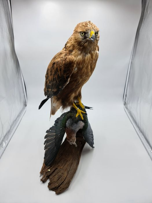 Long-legged Buzzard - new mount - Buteo rufinus (with full Article 10, Commercial Use) - 95×75×95 cm - 20NL286849/20