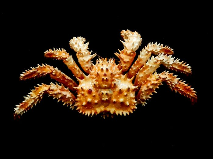 Unusual Spiny King Crab - Japan - Dry-preserved - Paralithodes brevipes - 60×160×310 mm