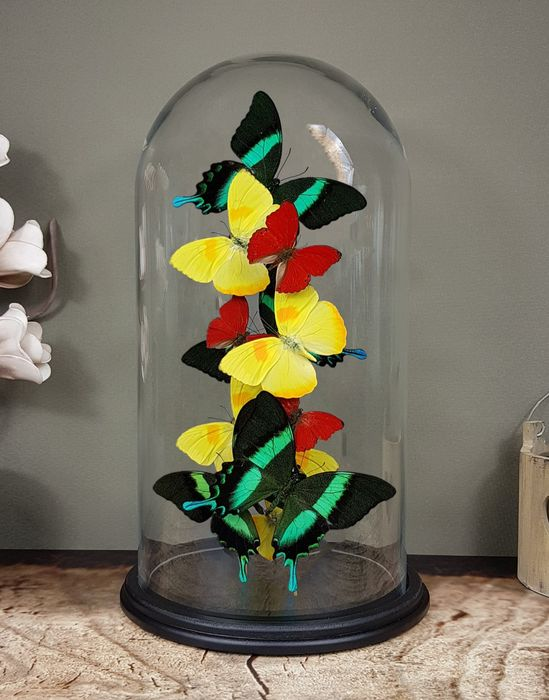 Butterfly Artwork, Limited Edition - mixed Butterflies under large glass dome - signed by Robert Mars with Certificate - Various species - 40×23×23 cm