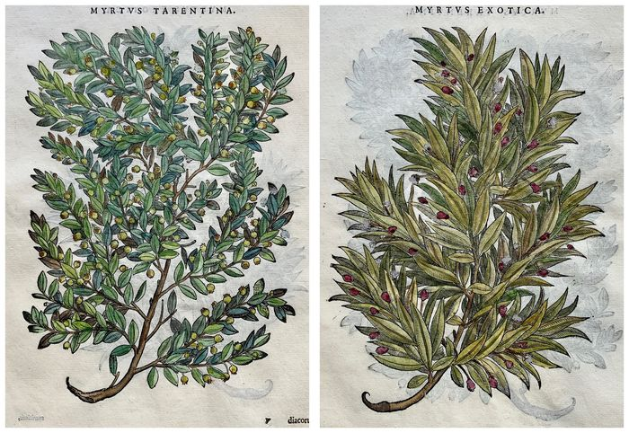 Lot of 2 leaves with 3 large woodcuts by Giorgio Liberale; W. Meyerpeck - Myrtus [Myrtle, Myrtaceae] - Hand coloured - 1565
