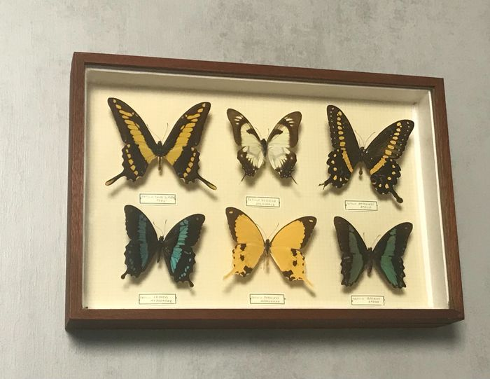 Mixed Swallowtails in glazed display case - with labels - Papilionidae sp. - 6×26×39 cm
