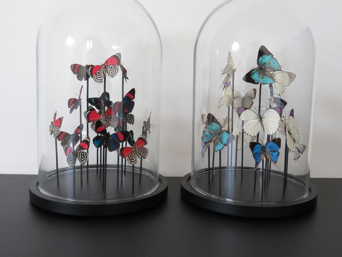 Mixed Tropical Butterflies under glass domes - various non-CITES species - 22×15×15 cm - 2