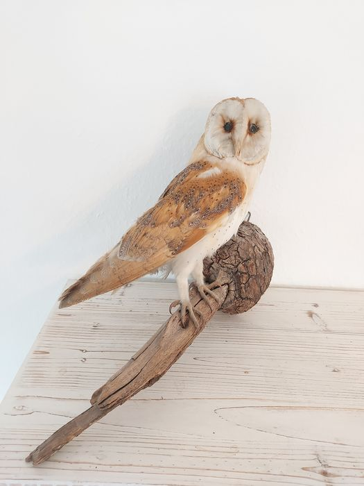 Barn Owl - vintage mount - Tyto alba - with full CITES Article 10 (Commercial Use) - 25×13×35 cm