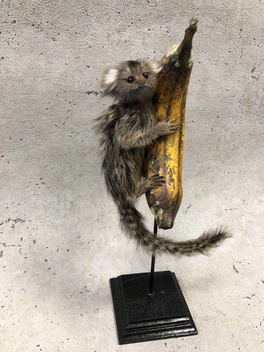 Common Marmoset - very fine example - on a large replica Banana - on pedestal - Callithrix jacchus - 42×14×10 cm