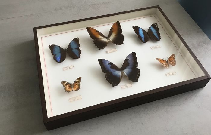 Morpho Butterfly Collection in glazed museum-type case - - Morphidae, Nymphalidae sp. - 6×39×52 cm