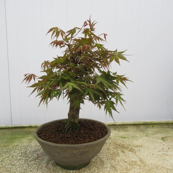 Japanese maple bonsai (Acer palmatum) - 25×21 cm - Japón