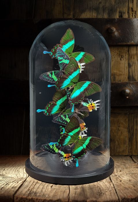 Mixed Butterfly Artwork under large glass dome - Robert Mars, 2019 - Papilio blumei and Urania ripheus - 40×23×23 cm