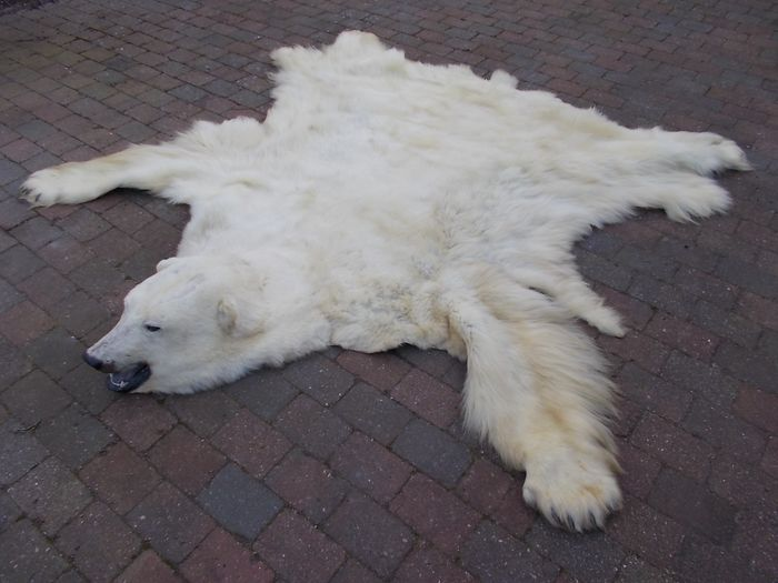 Large Polar Bear Skin with detailed Head - unlined, complete claws - Greenland, 1980 - Ursus  maritimus (with Danish Wildlife Authority Tag) - 25×262×245 cm - none