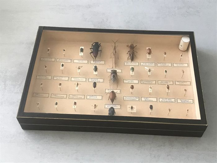 Mixed Insects of particular interest to Agriculture and Forestry finely framed - Coleoptera, Rhynchota, Lepidoptera, Hymenoptera, Diptera sp. - 6×26×39 cm
