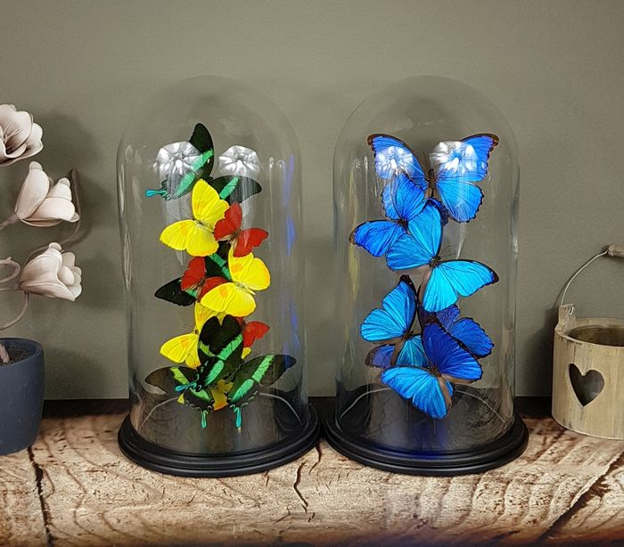 Butterfly Artworks under 2 large glass domes with certificates and signed by Robert Mars - various non-CITES species - 40×23×23 cm - non-CITES species