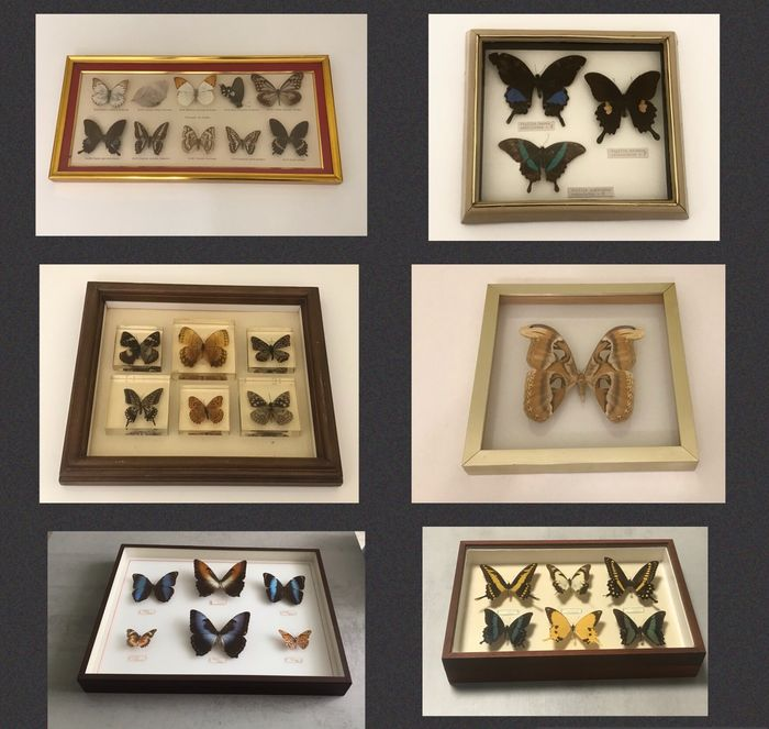Large mixed Butterfly and Moth Collection in 6 display cases - Papilionidae, Nymphalidae, Morphidae, Saturniidae - 0×0×0 cm - 6