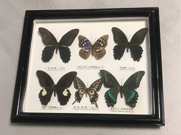 Vintage Butterfly Collection - Japan - 1970s - In glazed display case, with labels - Papilionidae, Nymphalidae - 5×29×34 cm