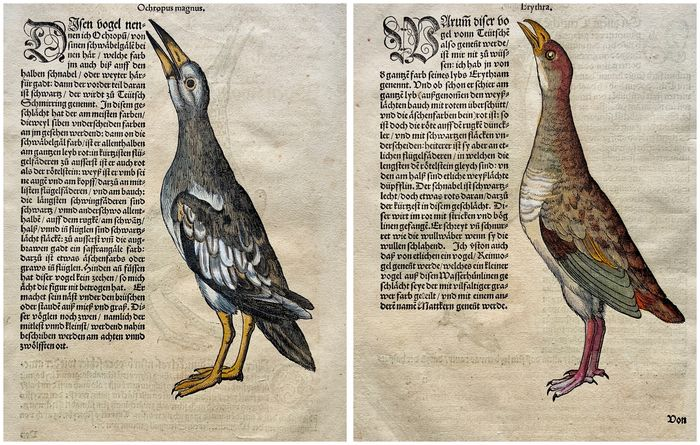 Lot of 2 leaves by Conrad Gesner (1516-1565) - 4 Large hand-coloured woodcuts on 2 folios [Ornithology: Sandpipers, Waterhens, ] - 1557