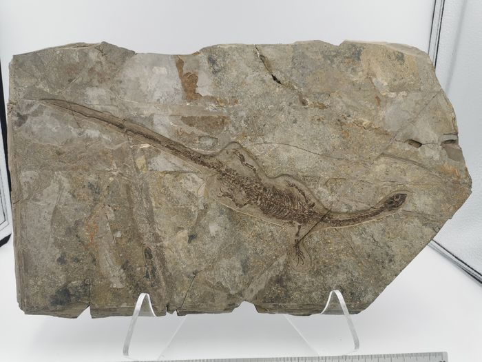Matrixissa - Hyphalosaurus sp. (with skin marks)