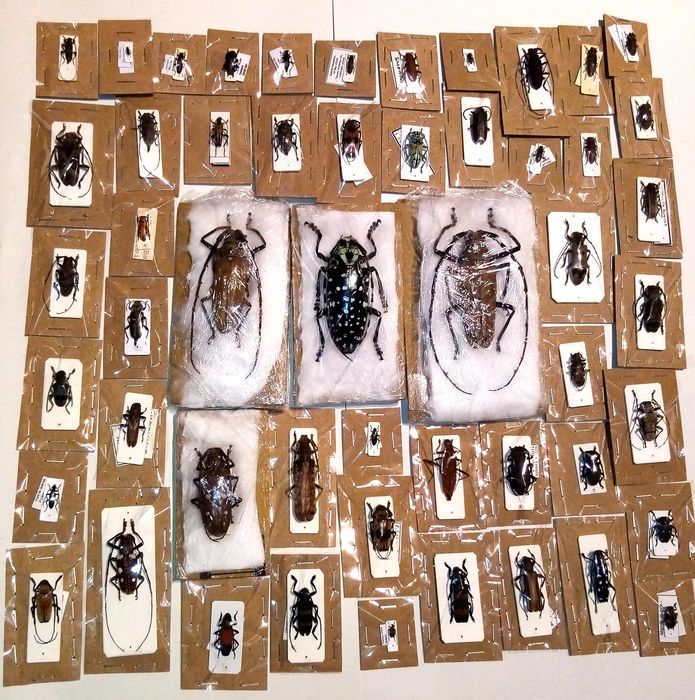 Huge collection of insects Dry-preserved - Varie specie - 0×0×0 cm - 52
