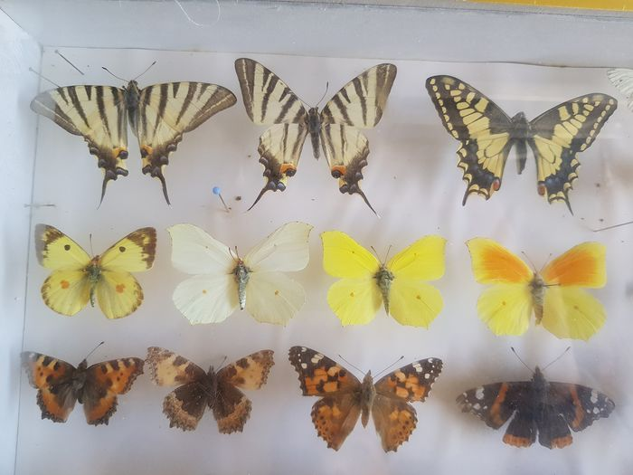 Butterfly - Various Species - 40×40×40 cm - 5