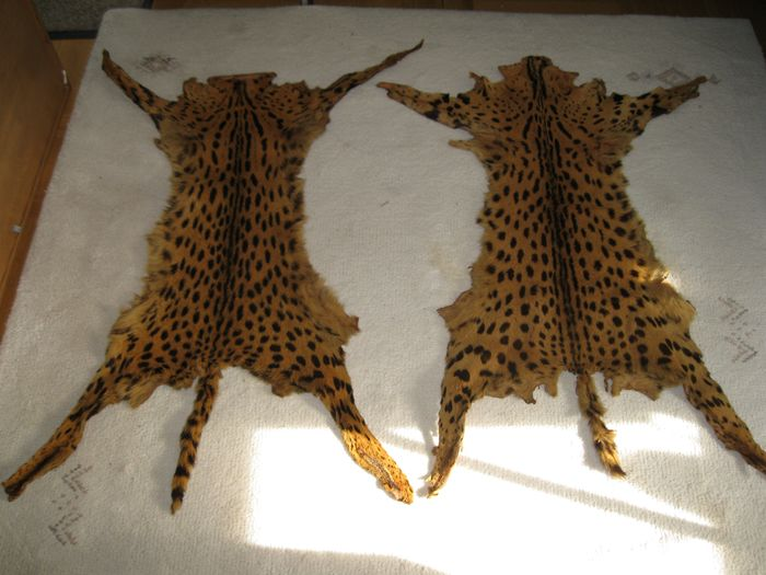 Serval cats Two-skins-skins very nice pattern. - Leptailurus serval - 1×450×900 mm