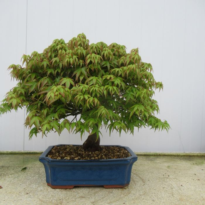 Japanese maple bonsai (Acer palmatum) - 32×42 cm - Koea