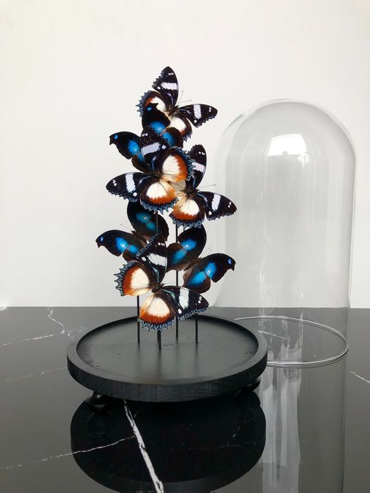 Mixed Butterflies under large glass dome - - Napeocles jucunda, Hypolimnas dexithea - 42×24×24 cm