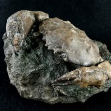 Huge fossil sea crab - Shell and clamps - Zanthopsis dufouri (EDWARDS, 1850) - 12×8×7 cm