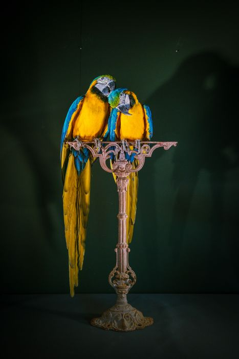 Blue-and-Gold Macaws on antique cast-iron stand - Ara ararauna (with closed rings) - 96×33×50 cm