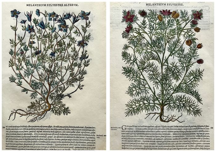 Lot of 2 leaves with 4 large woodcuts by Giorgio Liberale; W. Meyerpeck - Melanthium (4) New World American plants - Hand coloured - 1565 - 1565