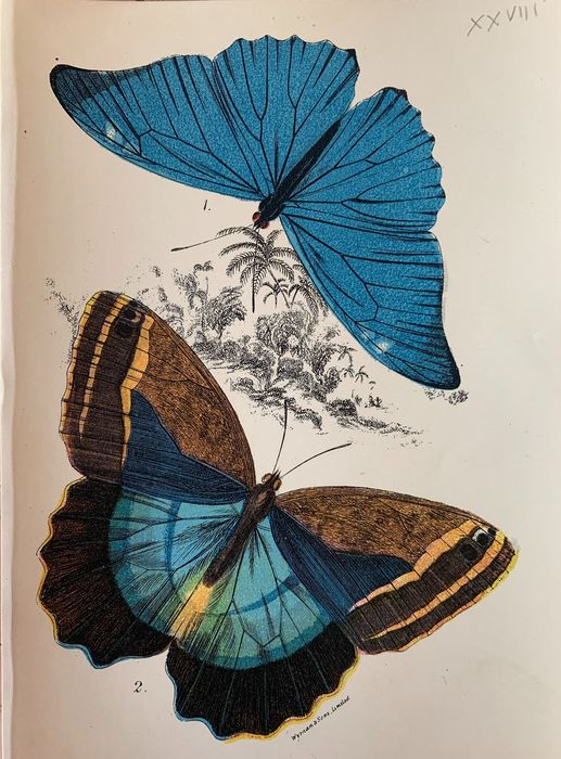 W. F. Kirby - Lot of 37 coloured prints of butterflies - 1896