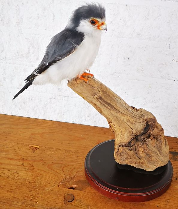 Pygmy Falcon - fully life-like, new mount - Africa's smallest Raptor - Polihierax semitorquatus (with closed foot-ring, and legal transfer) - 30×0×0 cm